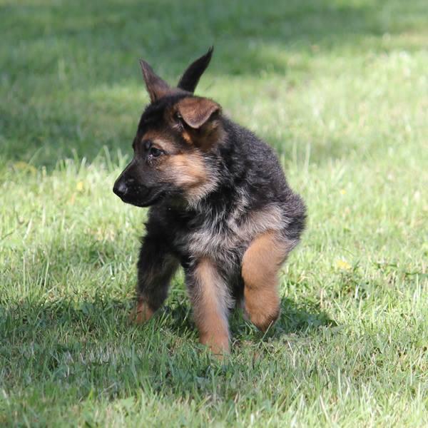 herdershond pup