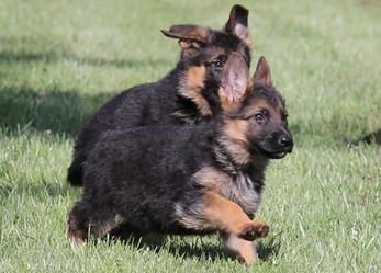 Duitse Herder Puppies te koop