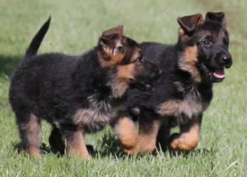 Duitse Herder Pups te koop