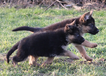 Duitse Herder Pup met stamboom