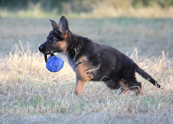 Duitse Herder Pup reu te koop