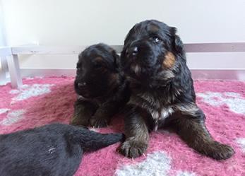 oudduitse herder pups te koop