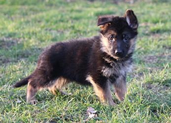 Duitse Herder pups uit Keurfok