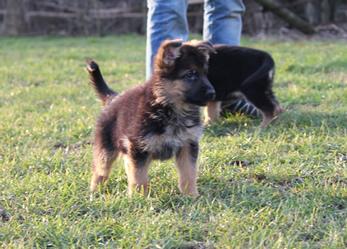 Duitse Herder pups te koop met stamboom